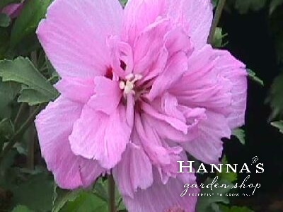 Hannas Garden Shop Deciduous Shrubs