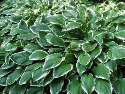Hannas Garden Shop Hostas