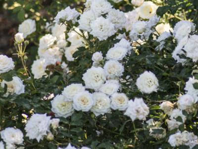Hanna S Garden Knock Out Roses