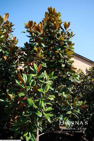 Hannas Garden Shop Magnolia Dd Blanchard 45g