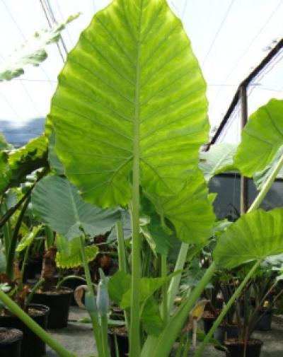 Hanna S Garden Shop Alocasia Calidora 1g