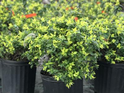 Hannas Garden Shop Evergreen Shrubs