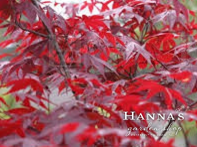 Hannas Garden Shop Japanese Maples
